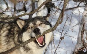 Картинка лес, природа, волк
