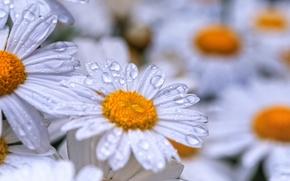 Картинка капли, цветы, роса, ромашки