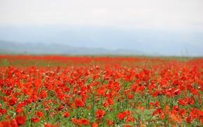 Картинка поле, Мак, Май, красные цветы, маковое поле