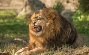 Картинка хищник, лев, грива, царь зверей, рычание