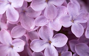 Картинка макро, цветы, природа, весна, лепестки, сирень
