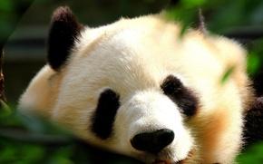 Картинка сон, мишка, панда