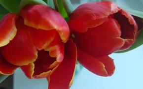 Картинка любовь, весна, тюльпаны