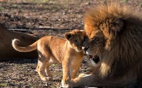 Картинка любовь, лев, детёныш, львы, львёнок, отцовство