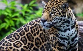 Обои ягуар, хищник, дикая кошка, пятна