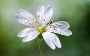 Обои цветок, белый, макро, лепестки