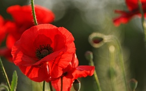 Обои цветы, лепестки, мак, поле, луг