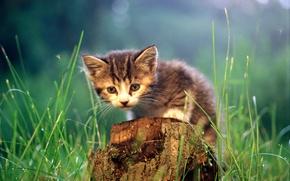 Картинка кошка, cat, пень, трава, котенок, кот