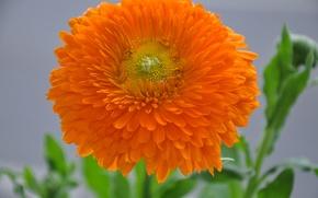 Картинка цветок, листья, природа, растение, лепестки, бутон