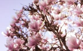 Обои дерево, цветение, магнолия, весна, розовый