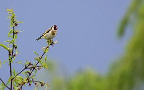 Картинка animals, birds, goldfinch