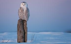 Картинка холод, зима, снег, сова, птица, пень, пенек