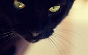 Картинка кошка, кот, морда, черная