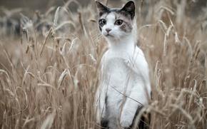 Картинка поле, кот, колосья, стойка, кот-сурикат