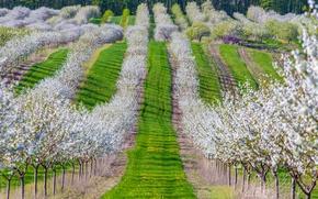 Обои сад, весна, вишня, деревья, цветение, трава
