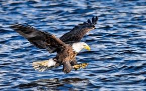 Обои атака, хищник, белоголовый орлан, крылья, полет, рыбалка