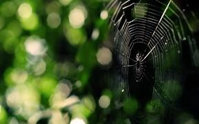 Картинка зелень, паутина, Паук