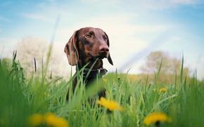 Картинка grass, dog, flowers, dachshund