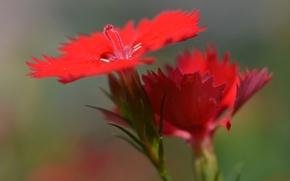 Картинка цветок, природа, лепестки, китайская гвоздика