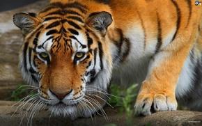 Картинка Tiger, Powerful, Perfect Killing Machine