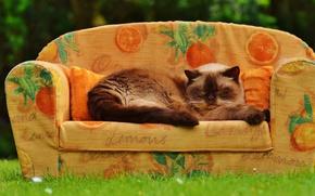 Картинка кошка, лето, трава, кот, поза, диван, сад, спит, пушистая, уютно, сиамская, сиеста
