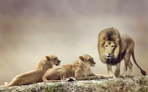 Картинка Макро, Лев, Животные