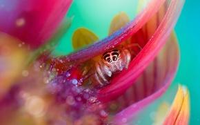 Картинка цветок, капли, роса, лепестки, паучок