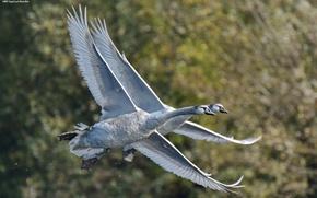 Картинка пара, лебеди, летят, синхронно