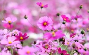 Картинка цветы, растения, яркие, природа, космея, поляна, лепестки, поле, цветение, розовые, трава, весна