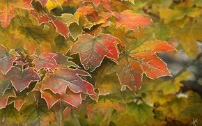 Обои клен, осень, листья