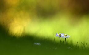 Картинка лето, трава, макро, цветы, ромашки