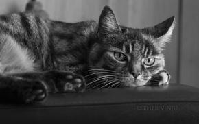 Картинка кошка, кот, чёрно-белое, лежит
