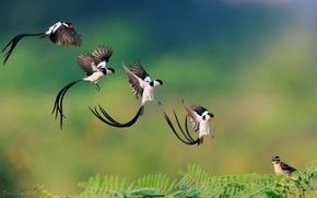 Картинка птица, ветка, полёт, приземление, Pin-tailed Whydah