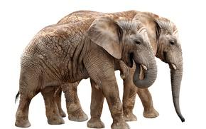 Картинка Белый, Фон, Двое, Животные, Слоны