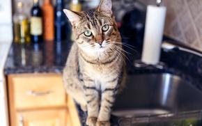 Обои kitchen, penetrating gaze, cat