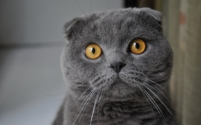 Обои взгляд, серый, Кошак