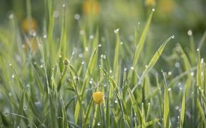 Картинка grass, flowers, drops, dew