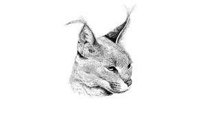 Картинка хищник, каракал, степная рысь, Caracal