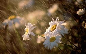 Обои цветы, макро, ветер, ромашки, Дождь