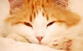 Обои кот, пушистый, рыжий