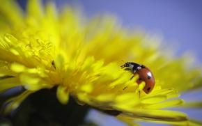 Картинка цветок, макро, одуванчик, божья коровка, flower, macro, ladybug, dandelion