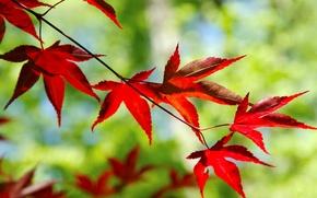Картинка листья, макро, красный, фон, дерево, widescreen, обои, размытие, ветка, размытость, листик, wallpaper, форма, red, листочек, ...