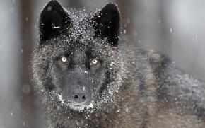 Картинка глаза, взгляд, морда, снег, серый, хищник, Волк