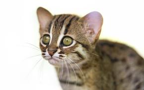 Картинка кот, взгляд, морда, детёныш, котёнок, ©Tambako The Jaguar, ржавая кошка, rusty spotted cat