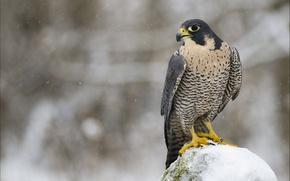 Картинка зима, взгляд, снег, птица, хищник, профиль, сокол, Сапсан