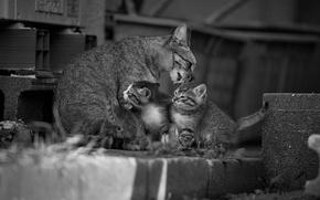 Картинка кошка, чёрно-белая, котята, малыши, монохром, материнство, мойдодыр, кошка с котятами