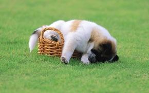 Картинка корзина, трава, щенок