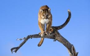 Обои взгляд, фон, дерево, обои, дикая кошка, Пума, горный лев, кагуар