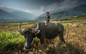 Картинка поле, ребенок, удивление, Азия, Бык, field, baby, Asia, верхом, ride, пасется