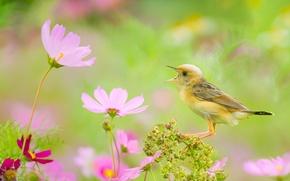 Обои цветы, боке, Золотоголовая цистикола, цистикола, птица, космея